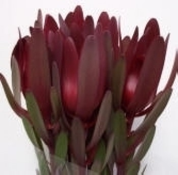 "Leucodendron Dark ""safari pride"" Minimum 5 stems"