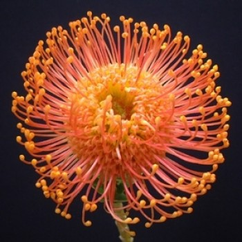 Pincushion orange Minimum 5 stems