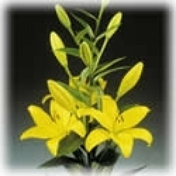 Lilly Asiatic Yellow Minimum 5 stems LOCAL SUPER!