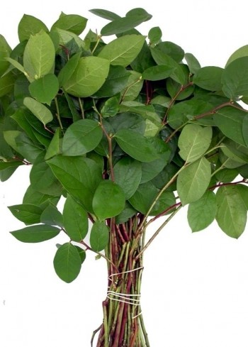 Salal, lemon leaves